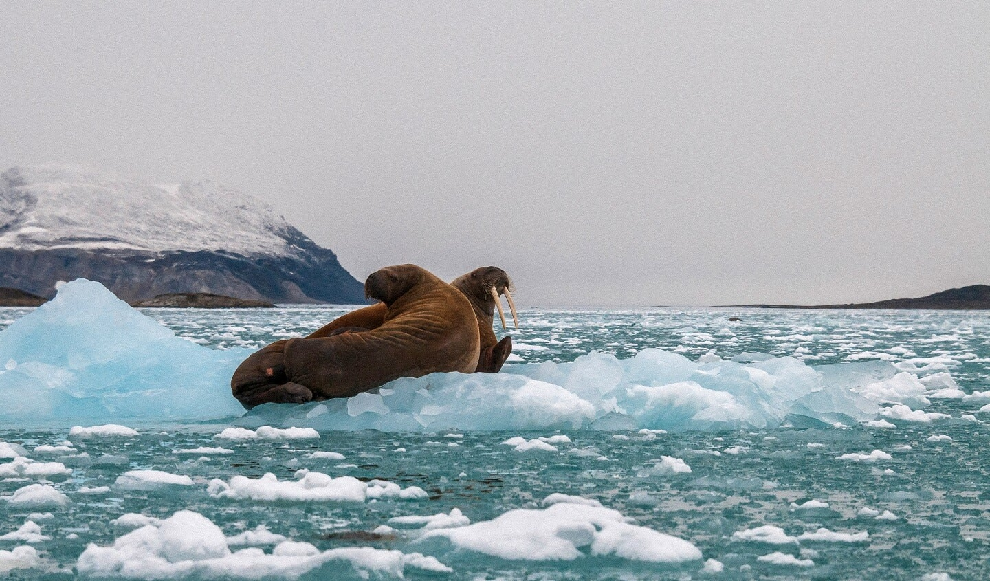 two walrus sitting on melting ice