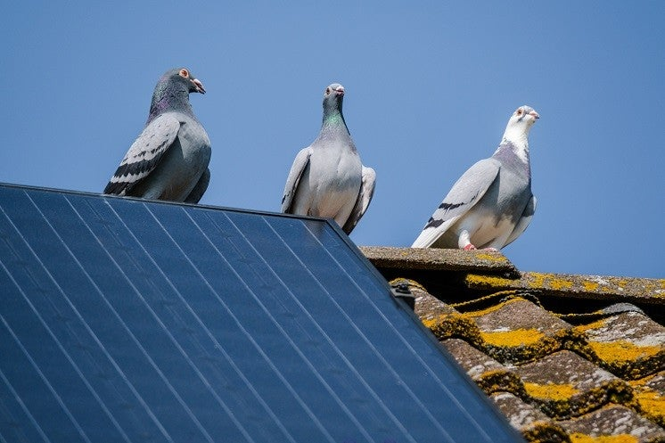 pigeons on a roof with solar panels