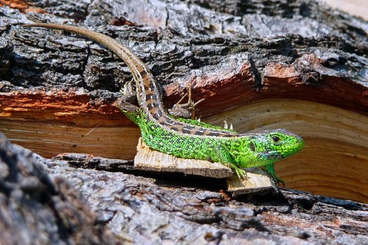 a male sand lizard