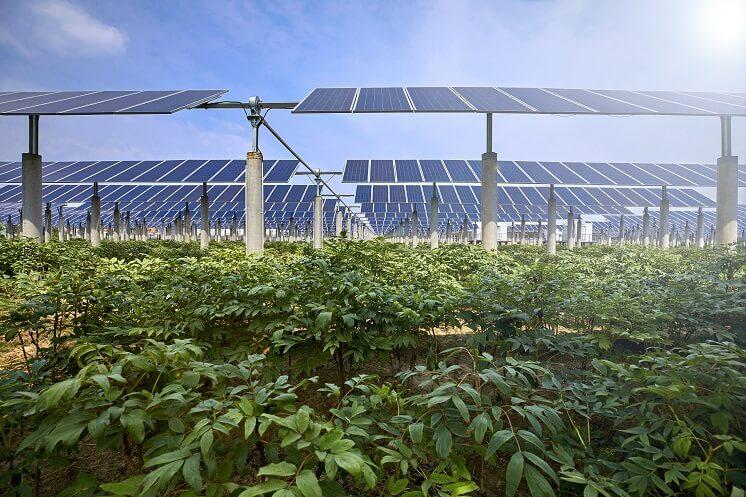 Vegetables under solar panels